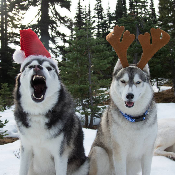 These huskies know how to celebrate Christmas
