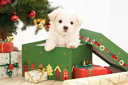 Christmas Puppies.10 Reasons Why Not To Get A Puppy This Christmas