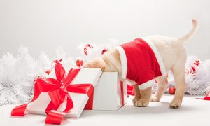 Labrador puppy looking in christmas gift box --- Image by © Image Source/Corbis