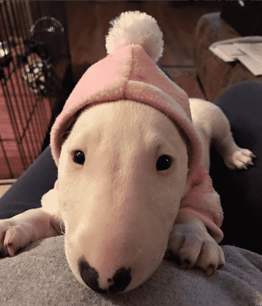 Bull Terrier in pink hat