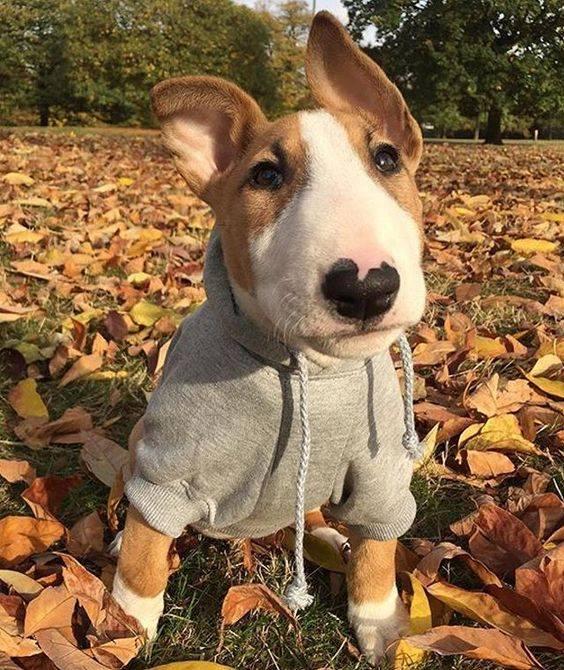 Bull Terrier in a hoodie