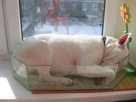 Bull Terrier can sleep just anywhere