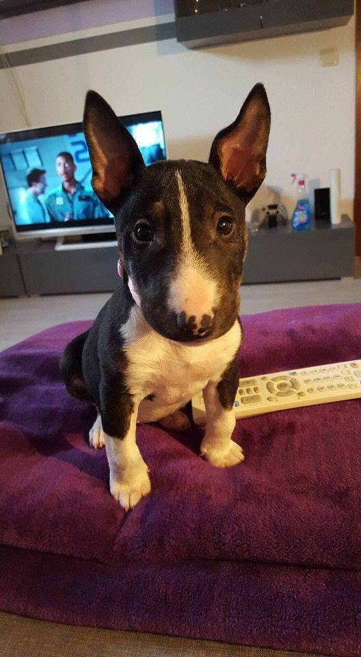Cutest Bull Terrier you'll see in a very long time