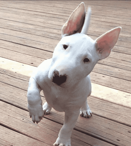 This Bull Terrier will melt your heart
