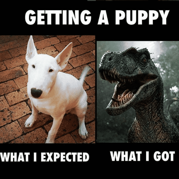 Expectations vs reality, bull terrier