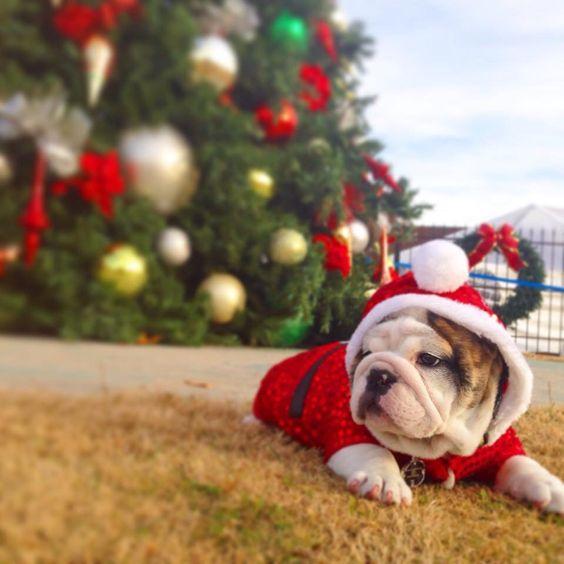 English bulldog puppy enjoying Christmas spirit