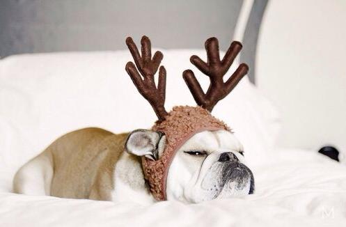 Grumpy English Bulldog for Christmas