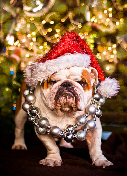 Cute bully dressed for Christmas party