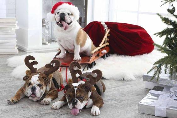 English Bulldogs making Christmas atmosphere better