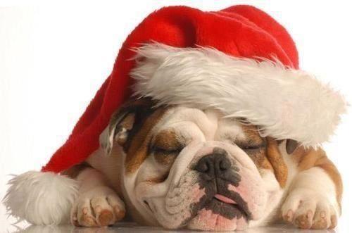 Cute bulldog sleeping in Santa's hat