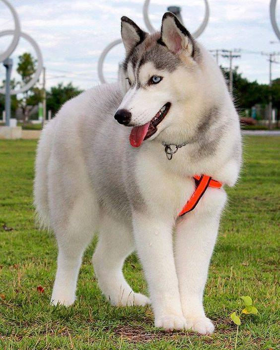 6 Things To Know Before Getting A Siberian Husky
