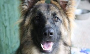 German-Shepherd-Standard-Coat-GSC
