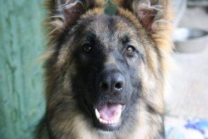 10 Best German Shepherd Images on Facebook