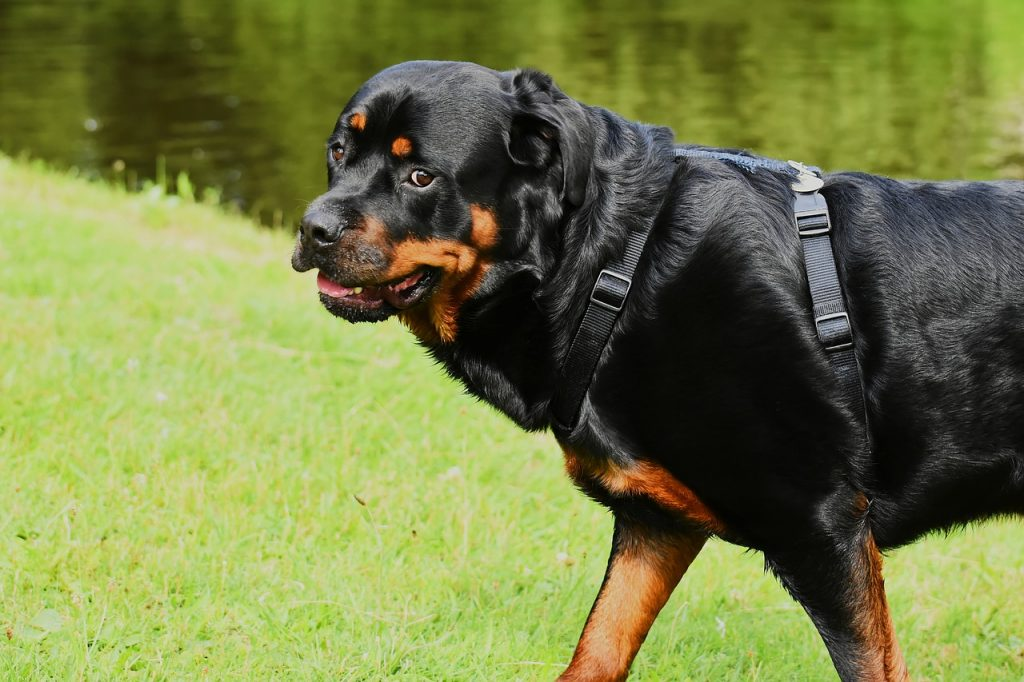 Rottweiler Guardian Dog