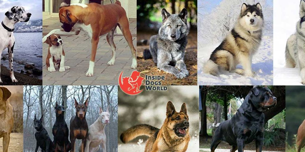 Top 10 Most Dangerous Dog Breeds In The