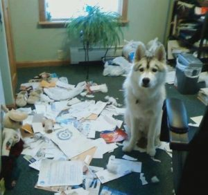What a Husky can do if you leave him alone for a w...
