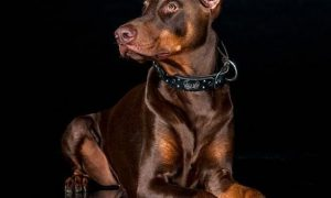Fascinating Facts Most People Don't Know About Dobermans.