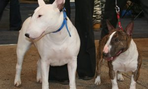 Bull Terrier: Weird Facts Did You Know
