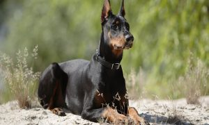 doberman-wallpapers