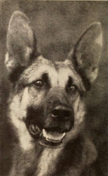 German Shepherd Strongheart