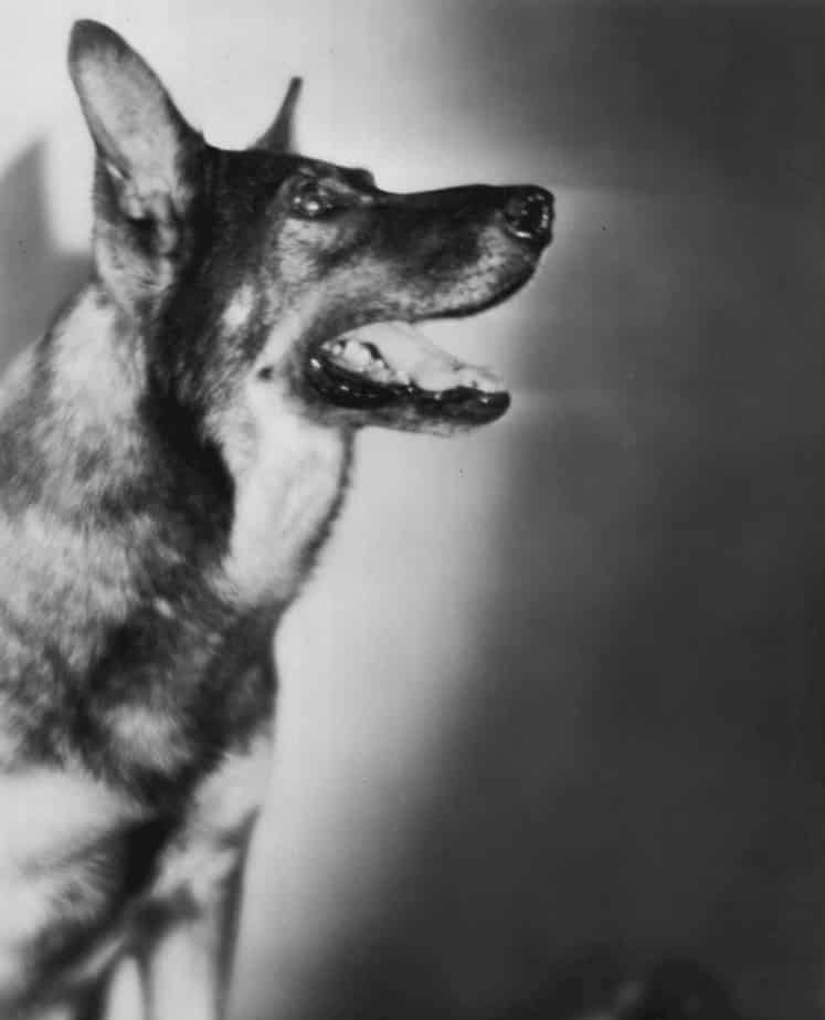 German Shepherd Rin-Tin-Tin
