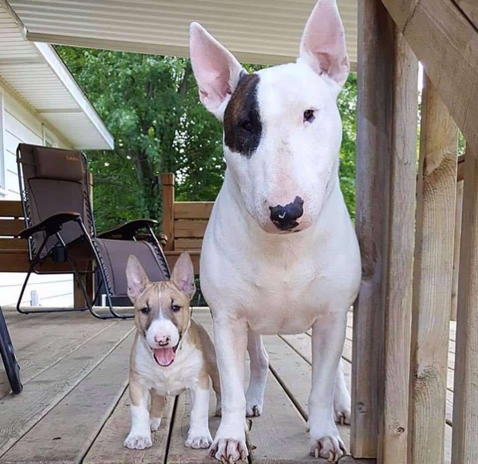Amazing Facts About Miniature Bull Terrier
