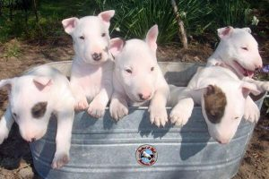 15 Amazing Facts About Miniature Bull Terrier