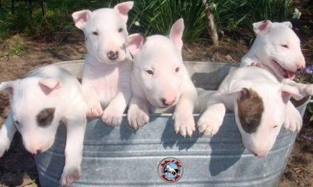 Bull-terrier-5-puppies