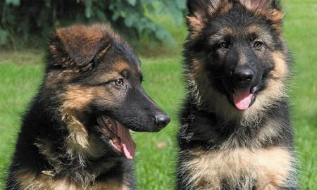German Shepherd Puppies Inside Dogs World
