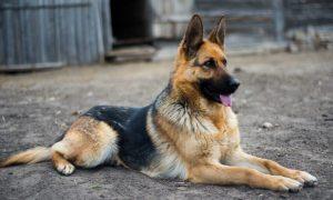 German-Shepherd-Standard-Coat-GSC