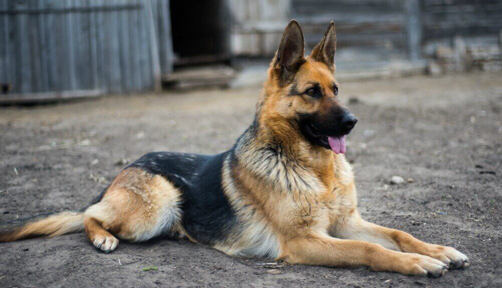 German Shepherd Puppies Must Know Information Inside
