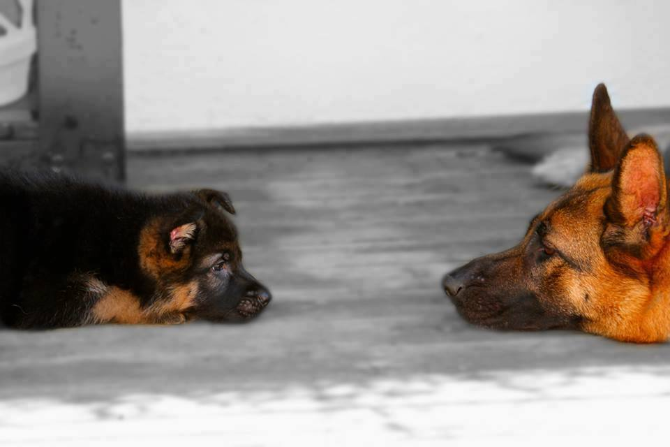 German Shepherd Dog with GSD Puppy InsideDogsWorld