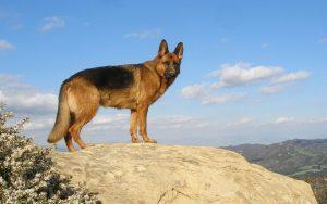 Should you get a German shepherd puppy? 11 things ...