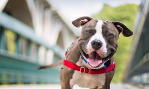 Pit_bull_restrained