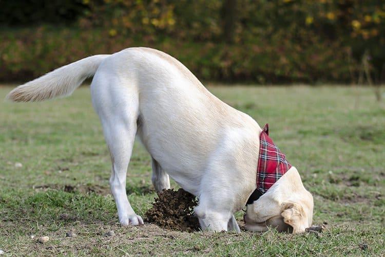 dog-digging