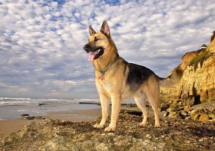 German Shepherd Temperament – A Few Things You Should Know First
