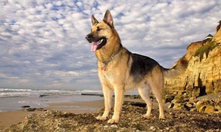 Most-Beautiful-German-Sheperd-Full-HD-Photos