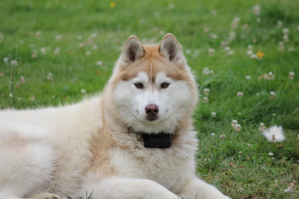 siberian-husky-not-wolf