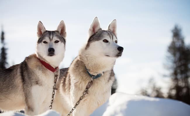 Siberian Husky Temperament Amp Personality Inside Dogs World