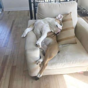 Meet Walter – English Bulldog Who Likes To S...
