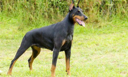 Doberman Hero Dog