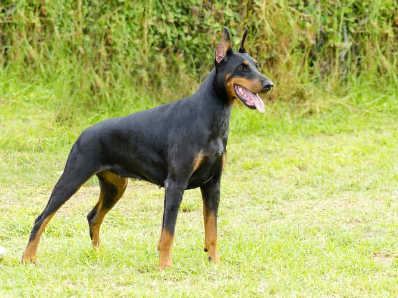 Doberman Hero Dog
