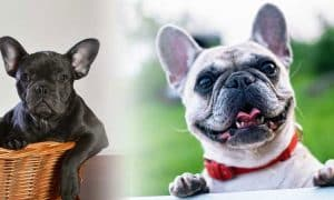 French Bulldog Dogs