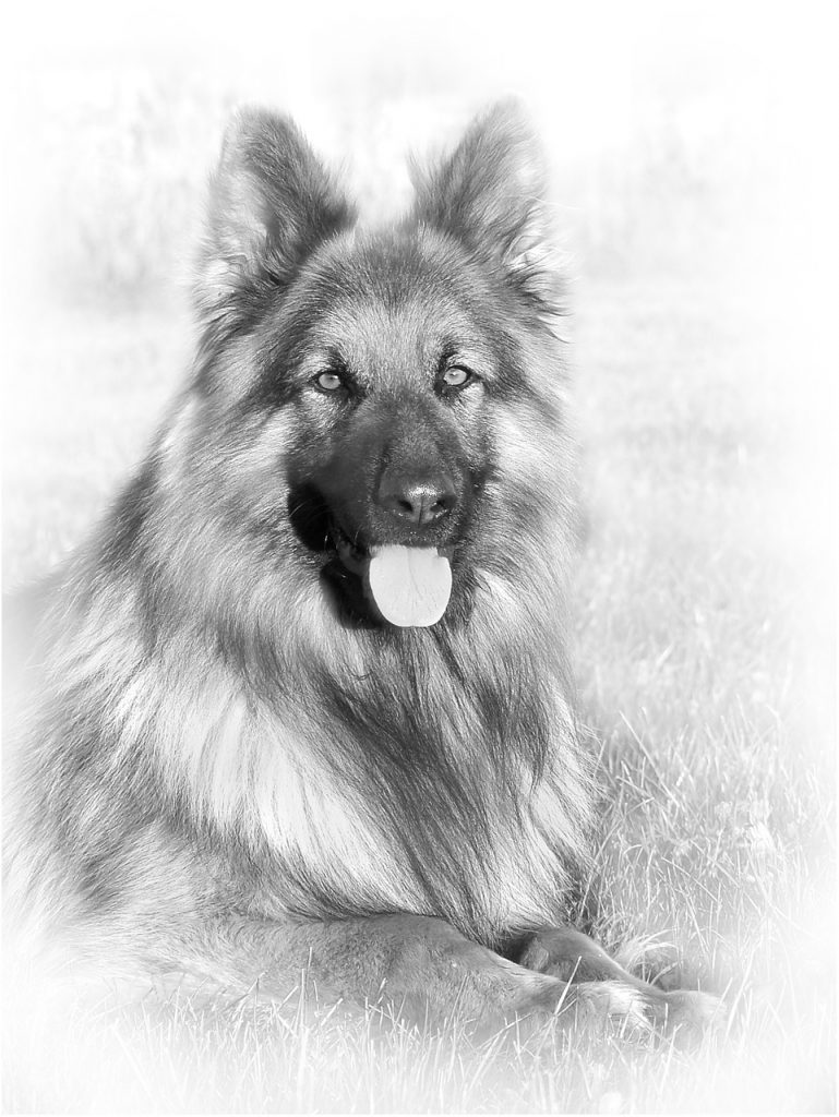 German Shepherd Dog Type