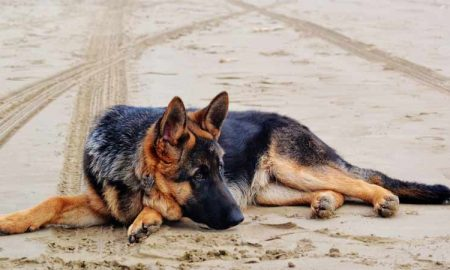 German Shepherd more a Hero or Aggresive Dog