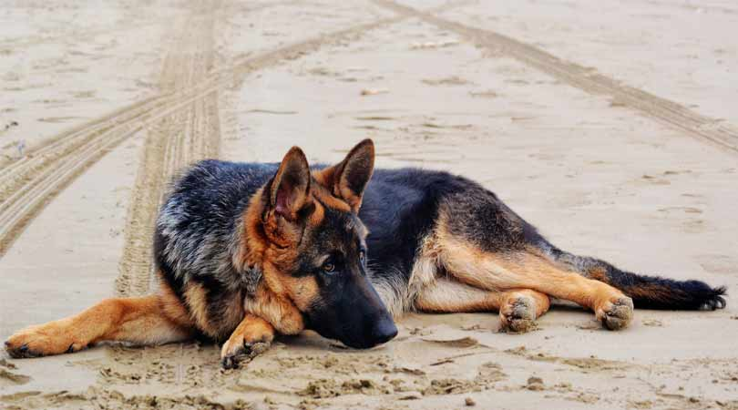 German Shepherd more a Hero or Aggresive Dog