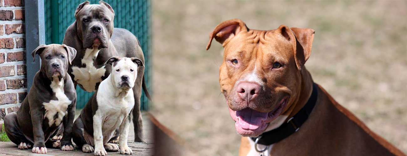 Pit Bull Dog Breed And Everything You Need To Know About