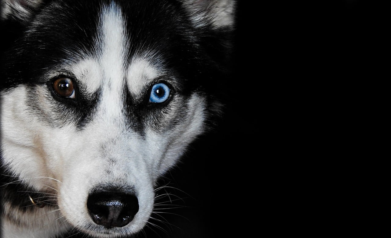 Siberian Husky Breed Information Everything You Need To Know
