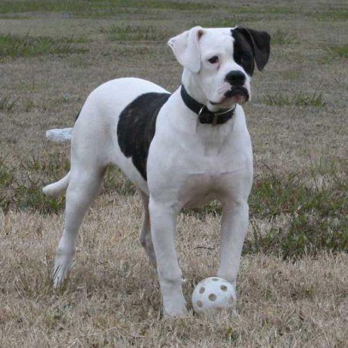 American Bulldog Dog Bite Force