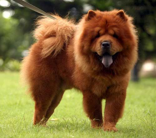 Chow Chow Dog Stripper